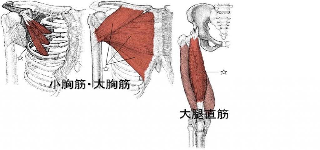 胸筋・大腿直筋