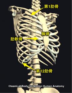 肋骨・胸郭