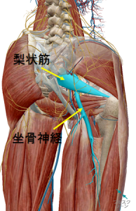 坐骨神経/梨状筋