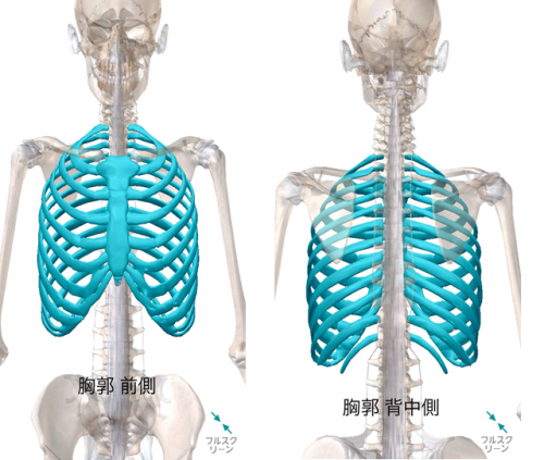 胸郭は「胸骨・肋骨・胸椎」で構成されていて、肺を囲んでいます。