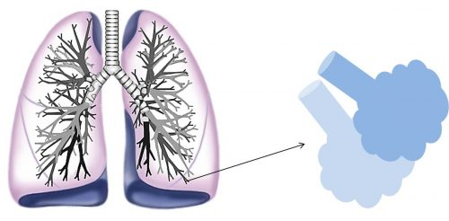 細い気管支の先はぶどうの房のような「肺胞」になる