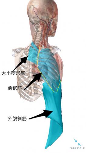 筋膜の繋がりがある