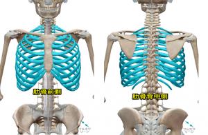 肋骨は12個の骨で構成されています。