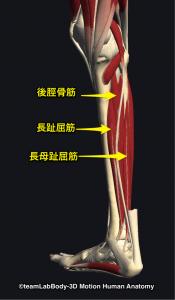 後脛骨筋・長趾屈筋・長母趾屈筋