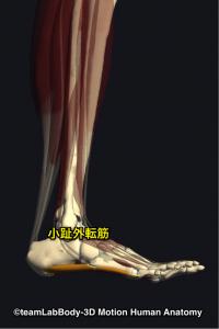小趾外転筋