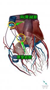 心房・心室を透かしてみると