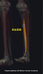 長趾屈筋トリガーポイント