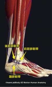 前距腓靭帯・後距腓靭帯・踵腓靭帯