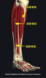 前脛骨筋・長短腓骨筋