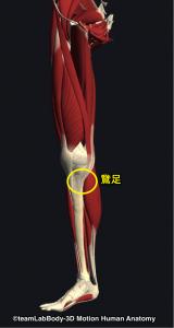 縫工筋・薄筋・半腱様筋・鵞足