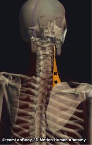 肩甲挙筋・トリガーポイント