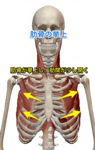 胸鎖乳突筋 肋骨挙上
