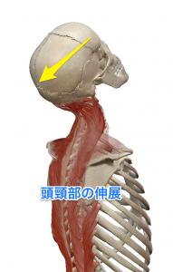 半棘筋 頭頸部の伸展