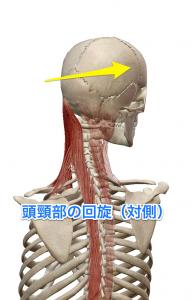 半棘筋 頭頸部の回旋(対側)