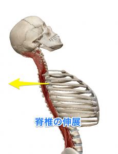 半棘筋 脊椎の伸展