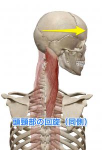 板状筋 頭頸部の回旋(同側)