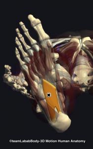 足底方形筋トリガーポイント