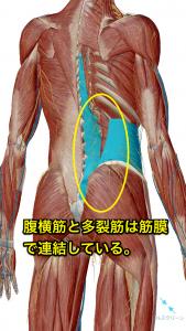 多裂筋と腹横筋のつながり