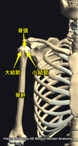 上腕骨大結節・小結節・骨幹