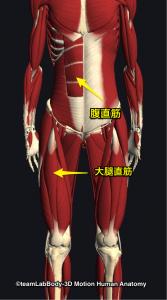 腹直筋・大腿直筋