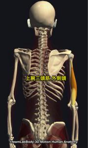 上腕三頭筋・外側頭