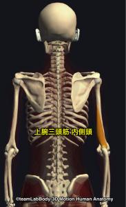上腕三頭筋・内側頭