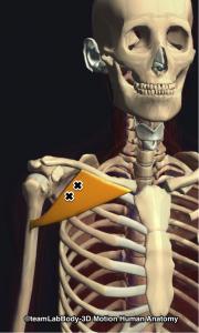大胸筋鎖骨部