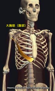 大胸筋腹部
