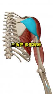 三角筋後部線維