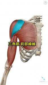 三角筋前部線維