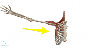 肩関節の内転