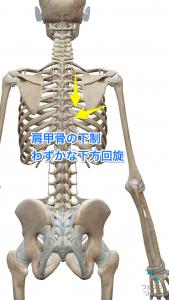 肩甲骨の下制・下方回旋