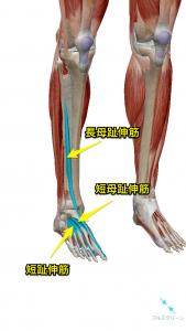 下垂足の原因になる筋肉