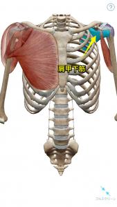 回旋筋腱板(ローテーターカフ)