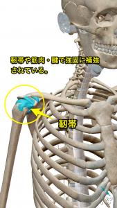 肩の構造(靭帯)