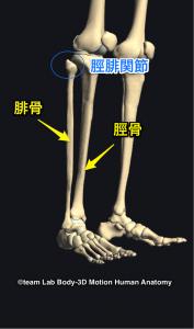 脛骨・腓骨・脛腓関節