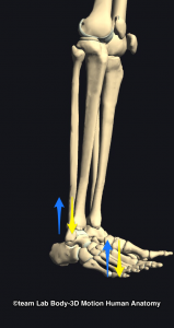 足関節と腓骨の動き