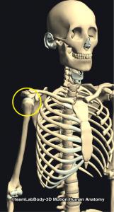 上腕骨頭・肩関節