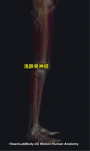 浅腓骨神経