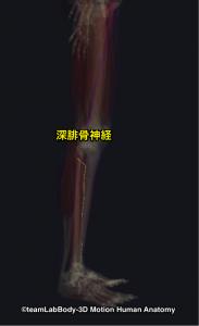 深腓骨神経
