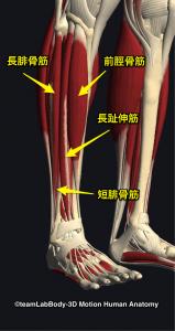 前脛骨筋・長腓骨筋・短腓骨筋・長趾伸筋