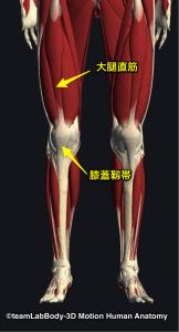 大腿直筋・膝蓋靭帯