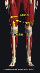 大腿四頭筋(大腿直筋・内側外側広筋)