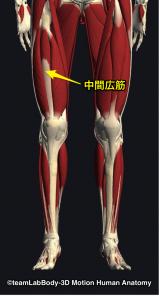 大腿四頭筋(中間広筋)