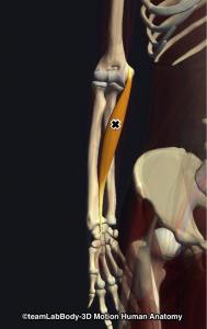 橈側手根屈筋トリガーポイント