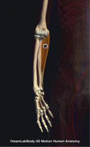 尺側手根屈筋トリガーポイント