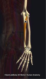 尺側手根伸筋トリガーポイント