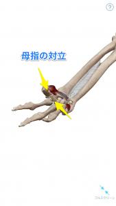 母指の対立