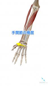 手関節の橈屈