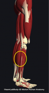 下腿周径・下腿三頭筋